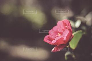 椿の花 - No.980475