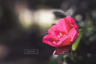 椿の花の写真・画像素材[980476]