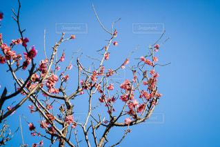 梅の花の写真・画像素材[1027691]