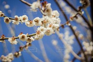 桃の花の写真・画像素材[1034883]