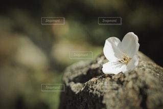 桜 - No.1079666