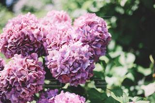 あじさいの花の写真・画像素材[1250961]