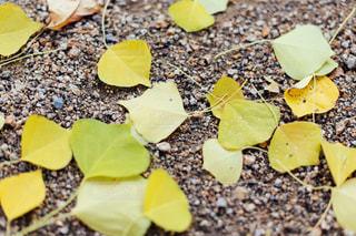 落ち葉の写真・画像素材[1655101]