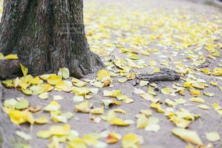 落ち葉の写真・画像素材[1655104]