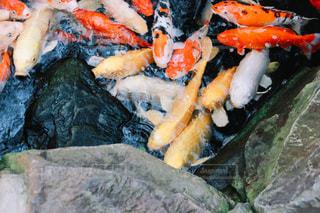 餌を食べる鯉の写真・画像素材[1696532]