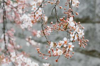 街の中の桜の写真・画像素材[1848513]