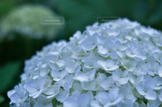 紫陽花の写真・画像素材[2373575]