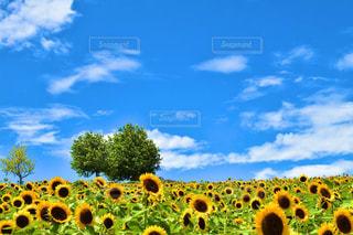 ひまわり畑の写真・画像素材[2373578]