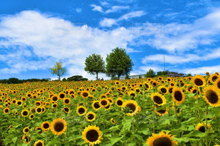 ひまわり畑の写真・画像素材[2373583]