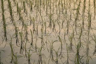 稲作の風景の写真・画像素材[1227363]