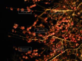 あかりに照らされた夜の梅の写真・画像素材[1850927]