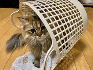 洗濯カゴに入ったネコの写真・画像素材[3116745]