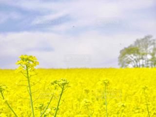 フィールド内の黄色の花の写真・画像素材[1249654]