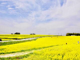 フィールド内の黄色の花の写真・画像素材[1249671]