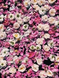 花の写真・画像素材[4262]
