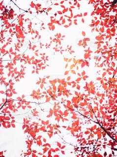 赤い葉の写真・画像素材[2925423]