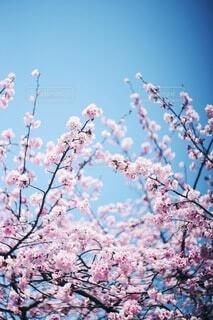桜の写真・画像素材[4212973]