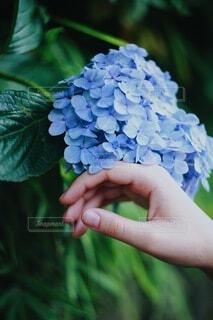 紫陽花と手の写真・画像素材[4224001]