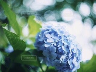 紫陽花の写真・画像素材[4224002]