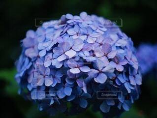 紫陽花のクローズアップの写真・画像素材[4223999]