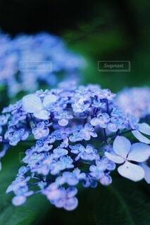 紫陽花の写真・画像素材[4224000]