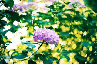 紫陽花の写真・画像素材[4451348]