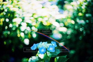 紫陽花と光の写真・画像素材[4451347]