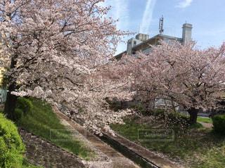 No.363975 桜