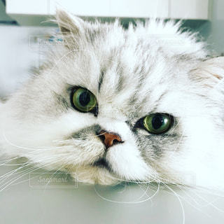 緑目の猫 エキゾチックショートヘアの写真・画像素材[1449769]