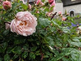 水も滴るいいお花の写真・画像素材[2243823]