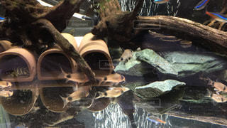 熱帯魚の写真・画像素材[281023]