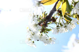 さくらんぼの花の写真・画像素材[475013]