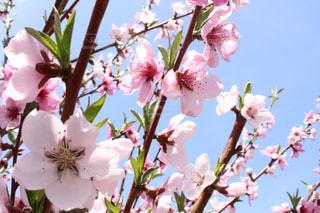 桃の花 - No.499961