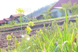 菜の花の写真・画像素材[1164809]