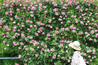 バラ園と白い帽子の写真・画像素材[3137623]