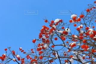 冬晴れと柿の写真・画像素材[4191824]