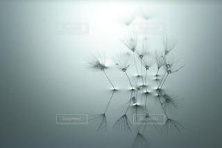 水に浮かぶタンポポの綿毛の写真・画像素材[987647]