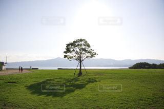 びわ湖湖畔の緑の芝生に立つ一本の木の写真・画像素材[1700947]