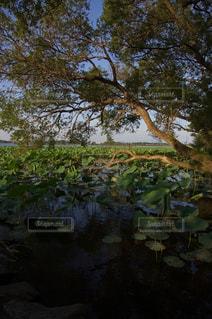 びわ湖のハス自生の写真・画像素材[1700998]
