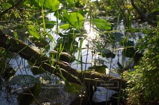 琵琶湖のハスの写真・画像素材[1701000]