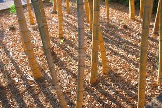 黄色くなった竹林の写真・画像素材[1701002]