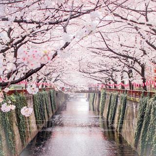 中目黒 満開の桜の写真・画像素材[1091165]