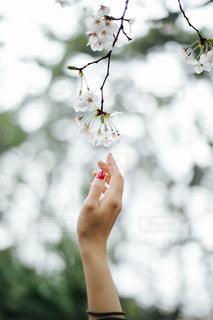 桜の写真・画像素材[425768]