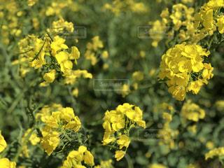 黄色の花の写真・画像素材[1446455]