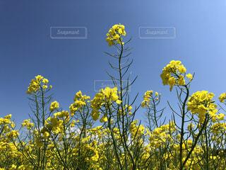 黄色の花の写真・画像素材[1446456]