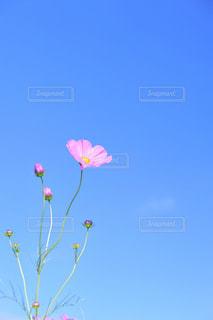 秋桜の写真・画像素材[336422]