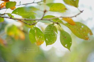 秋のサクラの写真・画像素材[811493]