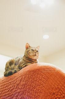 ソファーの上からニャルソックの写真・画像素材[1456579]