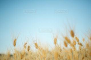舞い踊る麦の写真・画像素材[2165205]