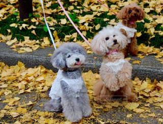 犬,秋,動物,紅葉,散歩,黄色,イチョウ,ワンちゃん,イチョウと犬